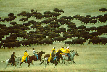 Picture of, and link to, Buffalo Roundup - Custer State Park